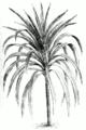 Cordyline australis.png