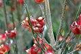 Cornus florida var 2zz.jpg
