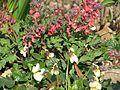 Corydalis George Baker ^ Viola Apricot - Flickr - peganum.jpg