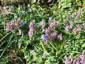 Corydalis solida ^ Scilla sibirica - Flickr - peganum.jpg