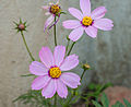 Cosmos bipinnatus pink, Burdwan, West Bengal, India 11 01 2013.jpg