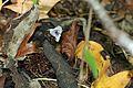 Cottonmouth - Flickr - GregTheBusker (3).jpg