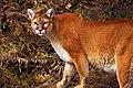 Cougar - panoramio (1).jpg