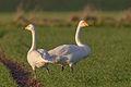 Couple Whooper Swan.jpg