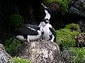 Couple de cormorans de Crozet sur nid avec leurs poussins.jpg
