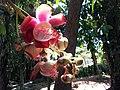 Couroupita guianensis RJ.jpg