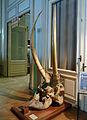 Crâne de Loxodonta cyclotis-Musée royal de l'Afrique centrale.jpg