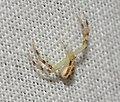 Crab Spider (43301480635).jpg