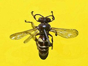 Crabronidae - Bembecinus tridens.JPG