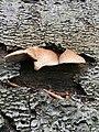 Crepidotus crocophyllus 82732495.jpg