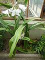 Crinum moorei 'Lily of The Orinoco' (Amaryllidaceae) plant.JPG