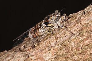 Cicadinae - Cicada orni imago (Cicadini)
