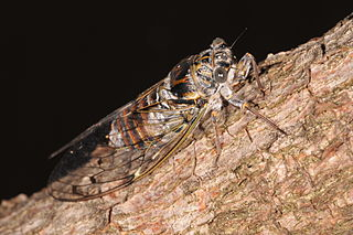 Cicadinae subfamily of insects