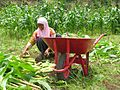 Crop harvest in Indonesia.jpg