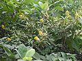 Crotalaria spectabilis (4227248529).jpg