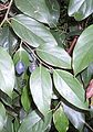 Cryptocarya rigida leaves & fruit.JPG