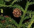 Cryptomeria japonica (Japanese Cedar) (31257789266).jpg