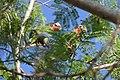 Cuban Amazon Parrot (Amazona leucocephala) (8597925030).jpg