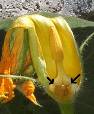 Cucurbita - Male flower, part of the perianth and one filament removed