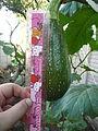 """Cucurbita pepo """"zapallo de Angola"""" semillería La Paulita - fruto día 07 (AM02).JPG"""