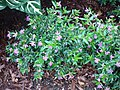 Cuphea hyssopifolia Chicago.JPG