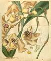Curtis's Botanical Magazine, Plate 3102 (Volume 58, 1831).png