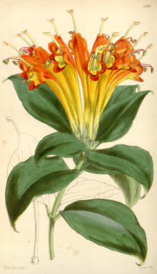 Curtis's Botanical Magazine, Plate 4320 (Volume 73, 1847).png