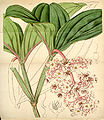 Curtis's Botanical Magazine, Plate 4321 (Volume 73, 1847).jpg