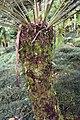 Cycas revoluta 38zz.jpg