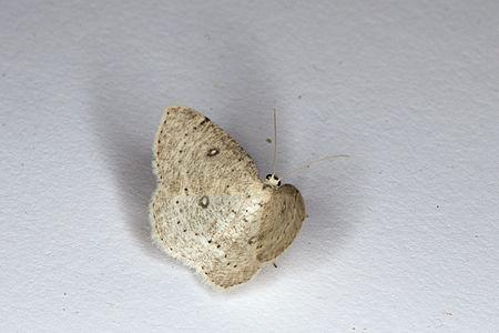 Cyclophora albipunctata, Lodz(Poland)02(js).jpg