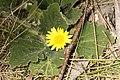 Cymbonotus sp. (37578792640).jpg