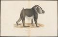 Cynocephalus leucophaeus - 1788-1863 - Print - Iconographia Zoologica - Special Collections University of Amsterdam - UBA01 IZA1000794.tif