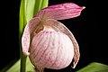 Cypripedium macranthos '-1905 Kawai' Sw., Kongl. Vetensk. Acad. Nya Handl. 21 251 (1800) (47877714431).jpg