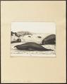 Cystophora proboscidea - 1700-1880 - Print - Iconographia Zoologica - Special Collections University of Amsterdam - UBA01 IZ21100129.tif