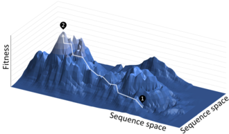 Directed evolution - Directed evolution is analogous to climbing a hill on a 'fitness landscape' where elevation represents the desired property. Each round of selection samples mutants on all sides of the starting template (1) and selects the mutant with the highest elevation, thereby climbing the hill. This is repeated until a local summit is reached (2).