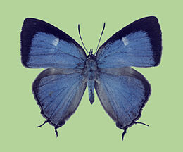 Dacalana akayamai female upperside.jpg