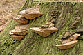 Daedalea quercina - Eichen-Wirrling - oak mazegill - maze-gill fungus - dédalée du chêne - 03.jpg