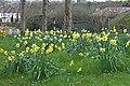 Daffodils Plus...... (40736964774).jpg