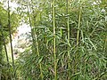 Dammed through bamboo. - panoramio.jpg