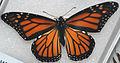Danaus plexippus (monarch butterfly) 1 (17071399560).jpg