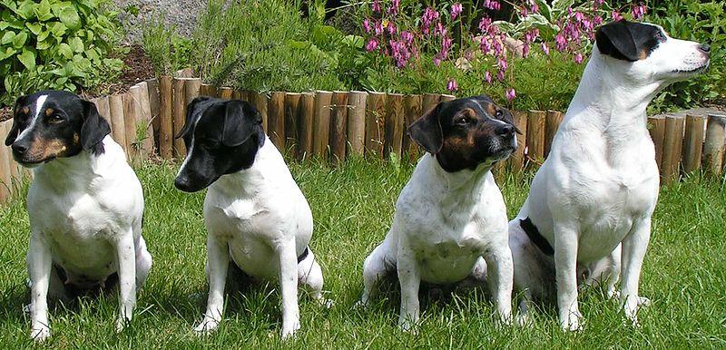 Ficheiro:Dansk-svensk gardshund.jpg