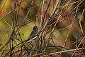 Dark-Eyed Junco (15595997825).jpg