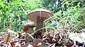Dark-Stalked Bolete.jpg