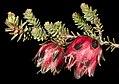 Darwinia polychroma - Flickr - Kevin Thiele.jpg