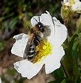 Dasypoda sp. (Melittidae), female - Flickr - gailhampshire.jpg
