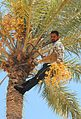 Dates on date palm get harvested.jpg
