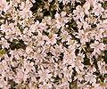 Daucus carota flowers cropped.jpg