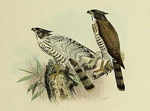 De vogels van Nederlandsch Indie - Accipiter trivirgatus 2.jpg