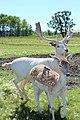 Deer Meadow Farms Corn Maze, Deacon Rd, Birds Hill (502020) (24874072742).jpg