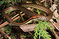 Dendrelaphis luzonensis (KU 330030) from mid-elevation, Mt. Cagua - ZooKeys-266-001-g082.jpg